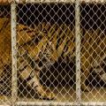 Tigri in gabbia in Tailandia