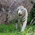 tigre_bengala