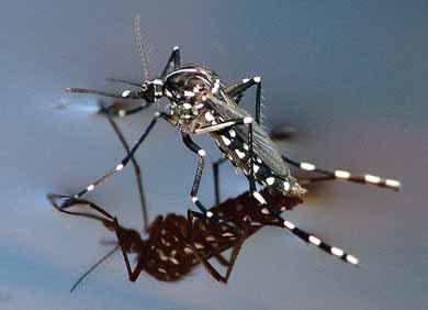 La zanzara tigre alla conquista della svizzera varcate le for Divora larve di zanzara