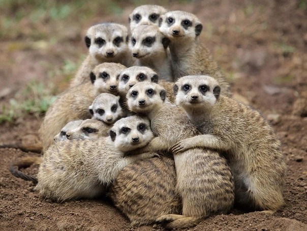 gruppo-suricati-insiemi.jpg