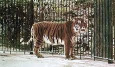 tigreingabbia.jpg
