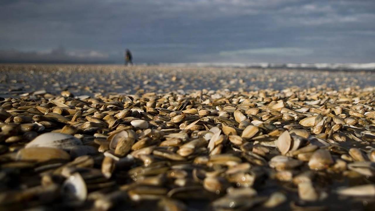 milioni-molluschi-uccisi-alga-tossica-cile-3bmeteo-72579.jpg