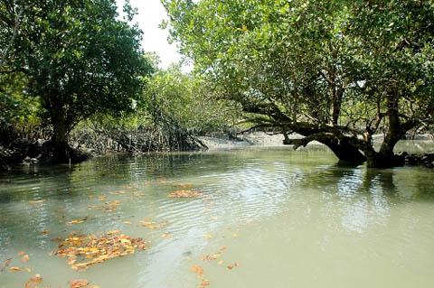 sunderbans-mangrovie.jpg