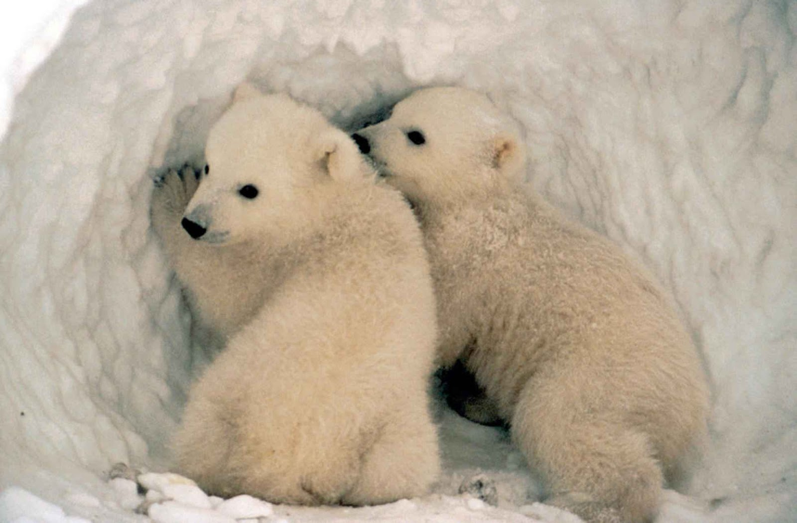 orso-bianco-05.jpg