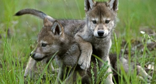 cucciolo-lupo.jpg