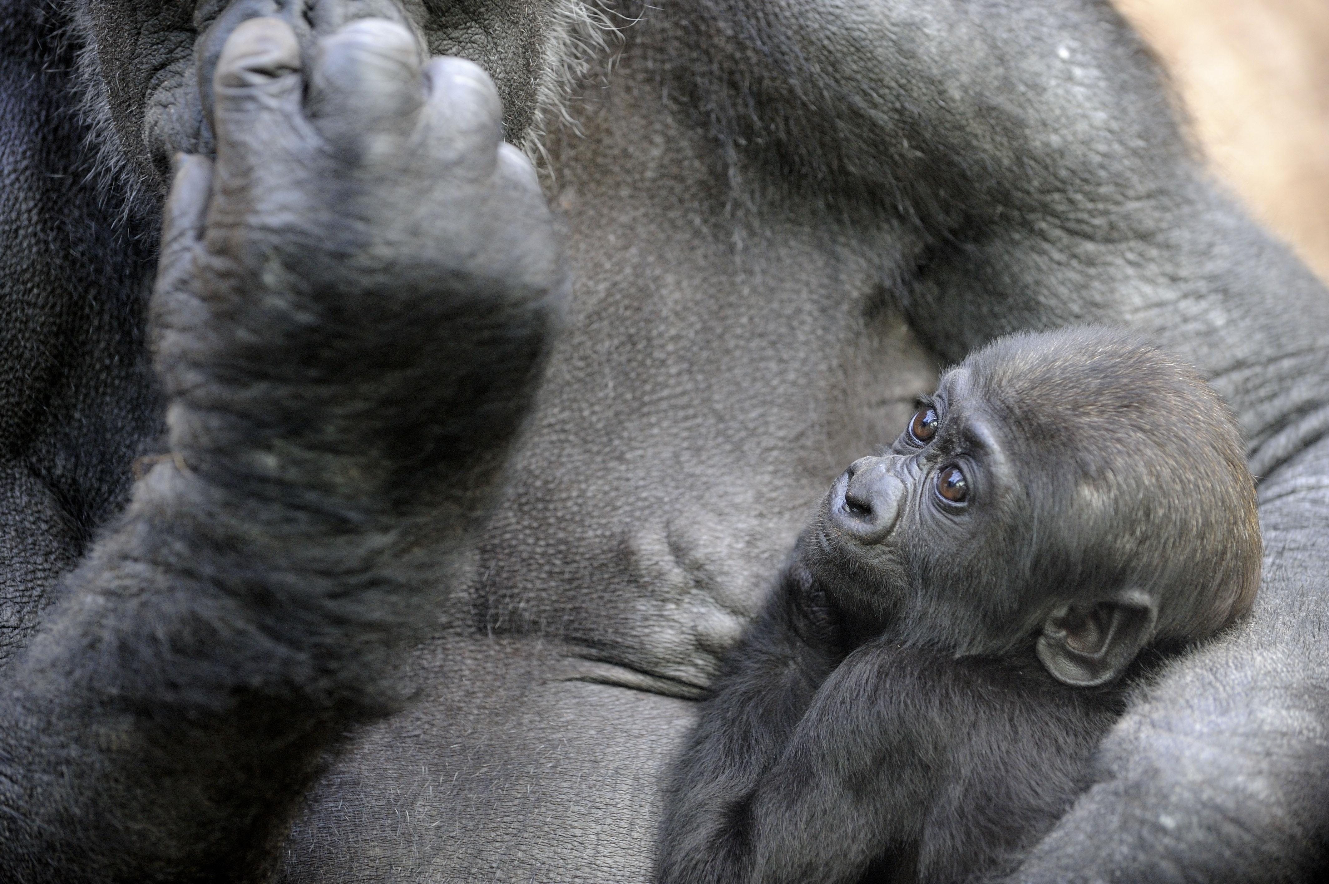 piccol-gorilla.jpg