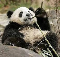 panda-mangia-banbu.jpg