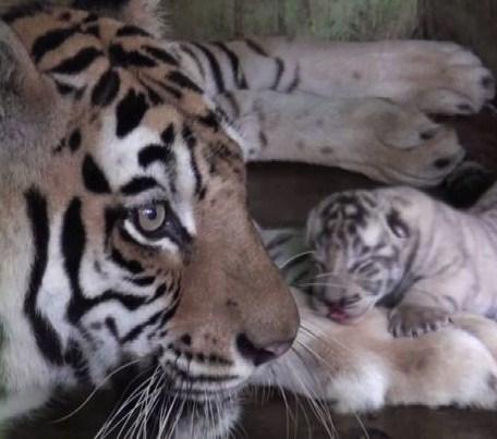 tigre-sumarta.jpg