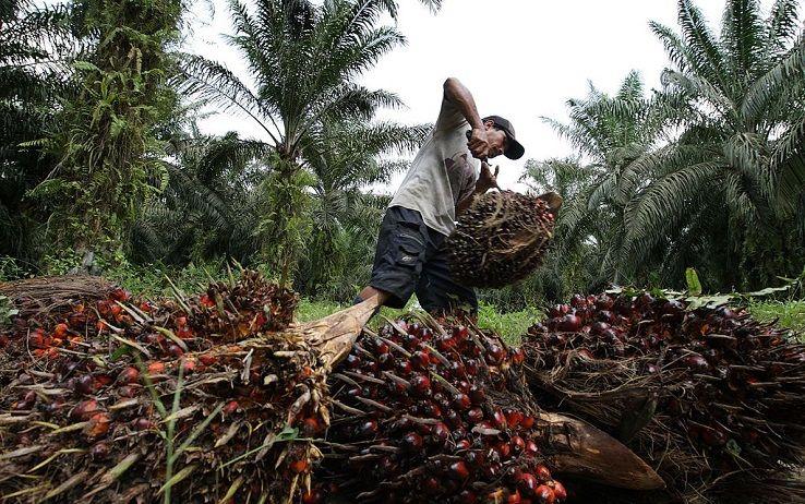 indonesia-oliopalma.jpeg