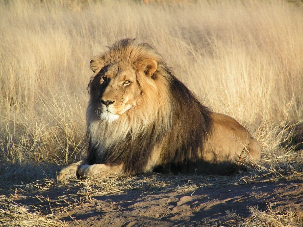 lionwaitinginnamibia.jpg