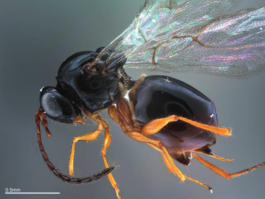 ganaspis-brasiliensis-habitus-lateral-view.png
