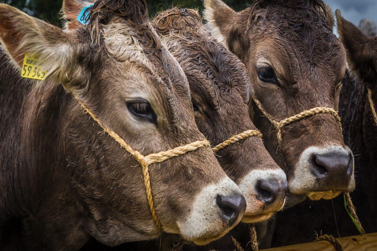 vitelli.jpg