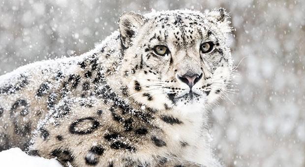 leopardo-nevi.jpg